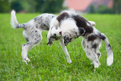 Playing border collies Stock Images