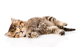 Playing british kitten. isolated on white background Royalty Free Stock Photo