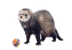 Playing brown ferret Royalty Free Stock Image