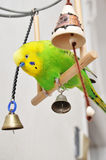 Playing budgerigar Stock Photography