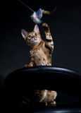 Playing cat. Bengal cat on the chair playing with a toy Royalty Free Stock Photos