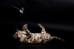 Playing cat. Bengal cat playing with a toy Royalty Free Stock Photography