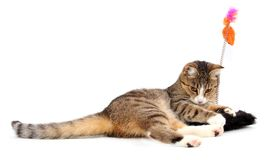 Playing cat. Little cat playing with toy on white Stock Photos