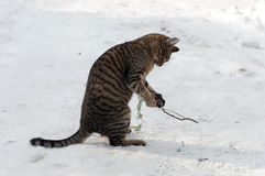Playing cat. The cat plays in the snow Stock Images