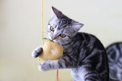 Playing cat. The cute cat . shoot it in the pets shop Royalty Free Stock Photo