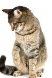 Playing cat royalty free stock photos