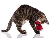 Playing cat, christmas, Santa Claus hat Stock Photography