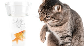 Playing cat and gold fish. At glass isolated on white Stock Photos