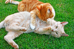 Playing cats. Playing red and tawny cats on green grass Stock Photo