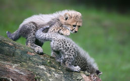 Playing Cheetah cubs 02 Stock Image