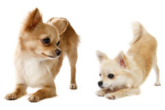 Playing chihuahuas Stock Photos