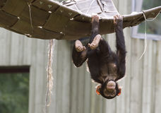 Playing chimpanzee stock photos