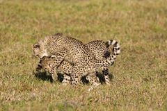 Playing cubs. Cheetah cubs playing in the savanna royalty free stock image