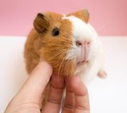 Playing with Cute Guinea Pig Stock Photography