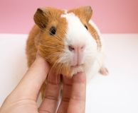 Playing with Cute Guinea Pig Royalty Free Stock Images
