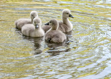 Playing Cygnets Stock Photos