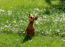 Playing dachshund Stock Photos