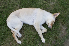 Playing dead. Golden colored dog playing dead in the grass Royalty Free Stock Photos