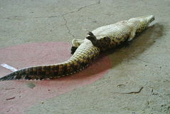 Playing Dead Croc Stock Photography