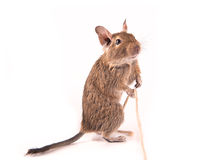 Playing degu Stock Image