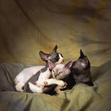 Playing devon rex kittens Royalty Free Stock Photography