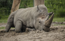 Playing in the Dirt. A White Rhinoceros at the local zoo, resting in the cool sand Royalty Free Stock Image