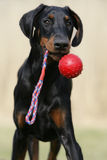 Playing Doberman Puppy Royalty Free Stock Photography