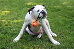 Playing Dog. American Bulldog playing with a ball stock photography