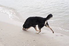 Playing Dog. On the Baltic Sea Royalty Free Stock Photos