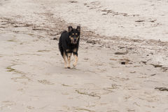 Playing dog. On the Baltic Sea beach Royalty Free Stock Photo