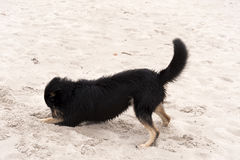 Playing dog on the beach Stock Image
