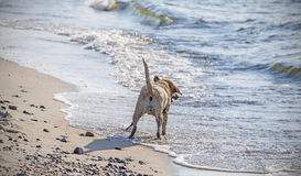 Playing dog on the beach from behind.  Stock Images