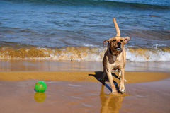 Playing dog on the beach Royalty Free Stock Photos