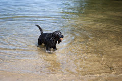 Playing Dog. Black dog playing in water - ball in mouth Stock Photos
