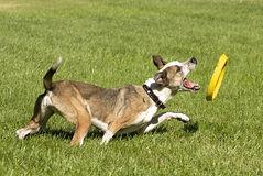Playing Dog. Dog Playing with Disc Toy Royalty Free Stock Image
