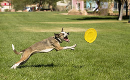 Playing Dog. Dog Playing with Disc Toy Stock Photos