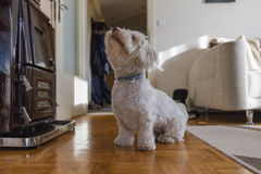 Playing dog. A havaneser dog playing with a ball in the living room Royalty Free Stock Photos