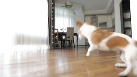 Playing dog in living room. Video change the focus. Playing dog Jack Russell terrier with red ball in living room. Video change the focus stock video footage