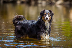 Playing dog. Dog in the water after swim Stock Photos