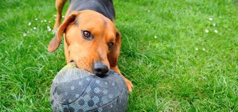 Playing dog. Wide closeup shot of the cute playful young dog playing with ball royalty free stock images