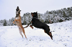 Playing dogs. Two dogs, a rotweiler and a belgian shepherd malinois playing in the snow Stock Images