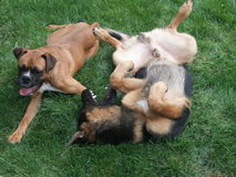 Playing dogs. German shepard and boxer playing together Royalty Free Stock Photo