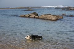 Playing Dogs. Dog playing with each other in the sea stock photography