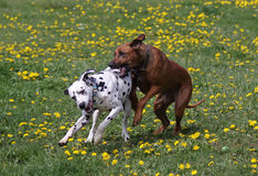 Playing dogs. Male Dalmatian and female Rhodesian Ridgeback hound dog playing Royalty Free Stock Images