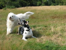 Playing dogs. Great Dane and Samoyed play fighting in a field Royalty Free Stock Photography