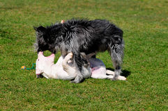 Playing dogs Stock Photos