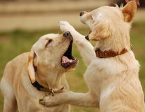 Playing dogs. Two dogs playing in the grass Stock Photo