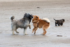 Playing dogs at the beach Stock Photography