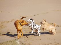 Playing dogs on the beach Stock Photography