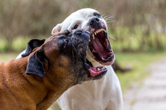 Playing dogs. Fighting dogs. Dogs barking at each other, showing fangs Royalty Free Stock Image